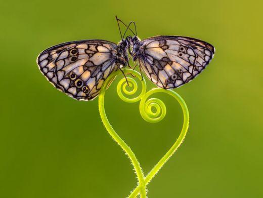 kelebeklerin-ciftlesmesi